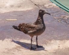 The Lava Gull is endemic to the Galapagos. This one is a juvenile