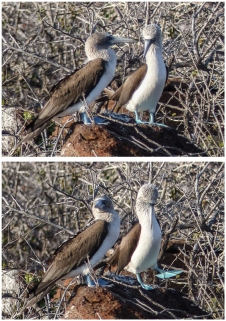 A male Blue-footed Booby showing off to a female