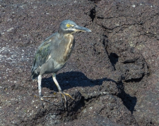 Another Lava Heron