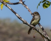 A Galapagos Flycatcher, yet another endemic
