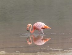 American Flamingo in the Galapagos. These got blown over form the Caribbean and cannot get back because of the prevailing winds