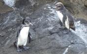A pair of Galapagos Penguins