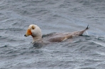 Flying Steamer-duck off the coast of Argentina. This is related to a species in Tierra del Fuego that doesn't fly