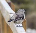 Some sort of Flycatcher (?) in Patagonia. This is where local birding guides are helpful!