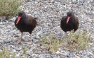 A pair of slightly demonic looking Blackish Oystercatchers