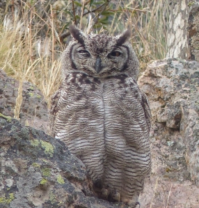We were kindly told where to find this Great-horned Owl in Puerto Deseado...