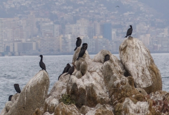 Nootropic Cormorants are very common - here with Valparaiso in the background