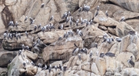 Peruvian Boobys and Pelicans resting off the coast of Chile