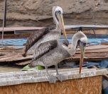 Peruvian Pelicans are found all along the coast