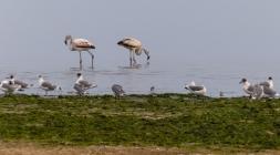 Flamingos on the shoreline of Southern Peru near Paracas