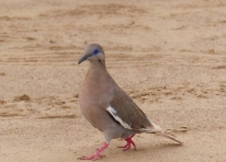 The White-winged Dove ranges throughout Central America and the Caribbean but there is an enclave along the Peruvian coast