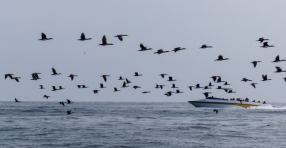 Thick flocks of cormorants