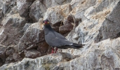 The distinctive Inca Tern