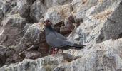 The distinctive Inca Tern