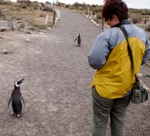 The colonies are well managed by the park authorities and penguins always have the right of way...
