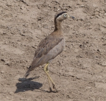 A Peruvian Thick-knee