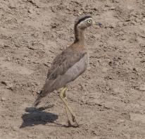 A Peruvian Thick-knee