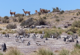 But they do have to share with Guanacos