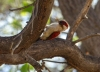 We spent awhile watching this female Scarlet-backed Woodpecker in a dry forest on the coast of northern Peru...