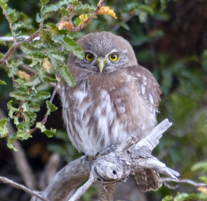 We spent a long time enjoying this Austral Pygmy Owl in a campsite in the Torres del Paine, Chile