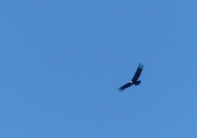 Our first Andean Condor sighting at Torres del Paine